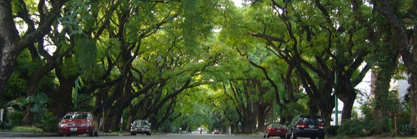 "Lovely ""Tipas Peruanas"" trees in Belgrano, Buenos Aires"