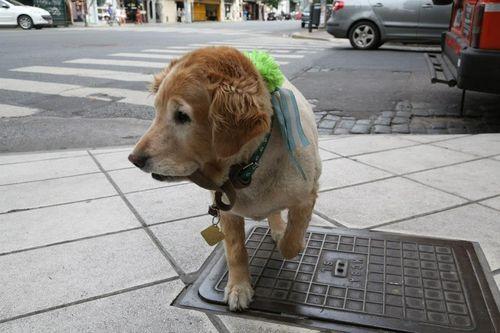 A dog crossing Avenida Corrientes in Buenos Aires barrio of Buenos Aires